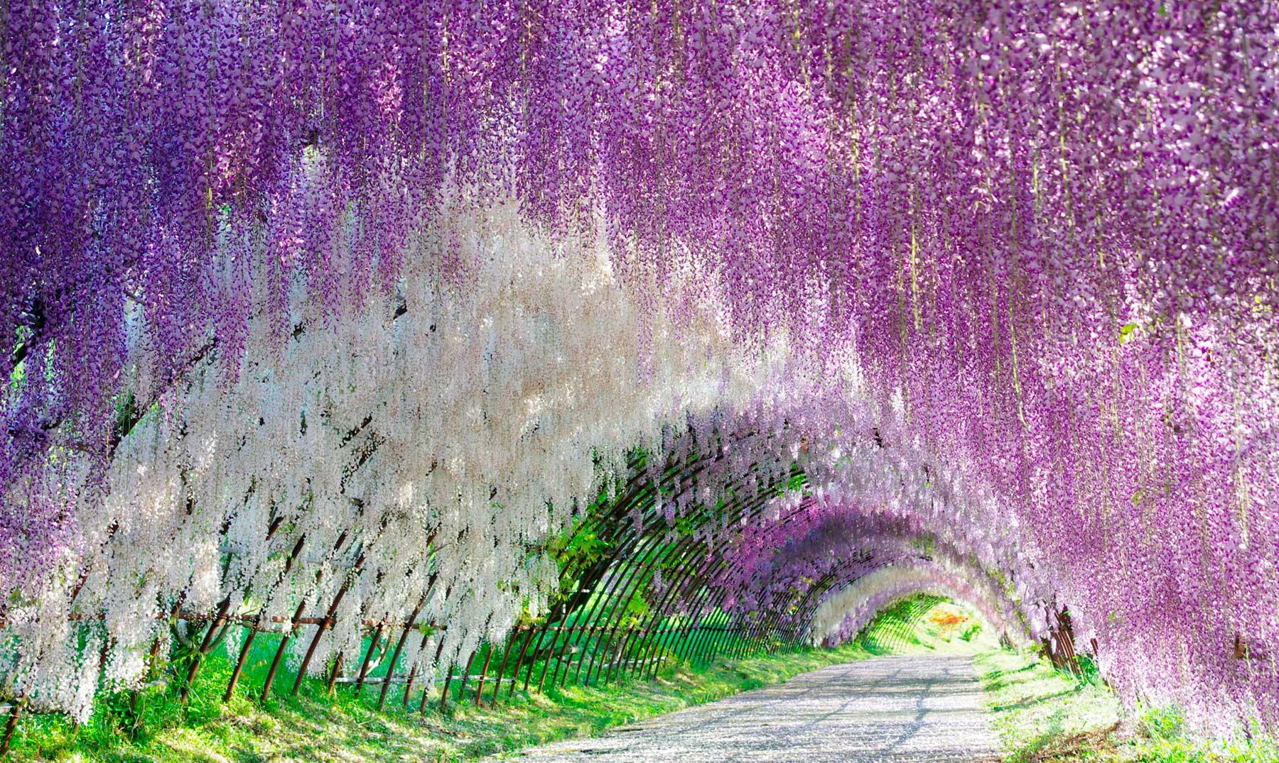 El túnel de las glicinias en flor, Japón